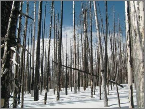 burnedforestsnow
