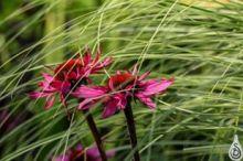 grassandechinacea