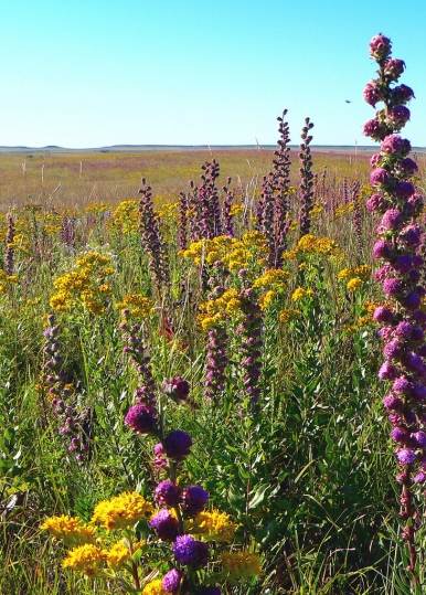Tallgrass_prairie_flowers_(6176383496)